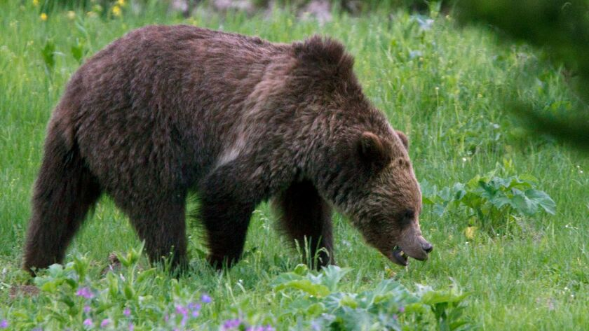 A grizzly roams near Beaver Lake in Yellowstone National Park.