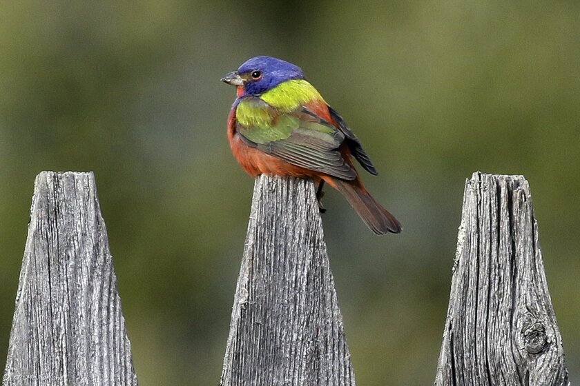 "In this March 18, 2016 photo provided by the Vermont Center for Ecostudies, a rare painted bunting sits on a fence in Pittsfield, Vt. The bird, sometimes described as a ""flying rainbow,"" normally does not fly north of the Carolinas on the East Coast. It's the sixth time a painted bunting sighting has been recorded in Vermont. (Vermont Center for Ecostudies via AP)"