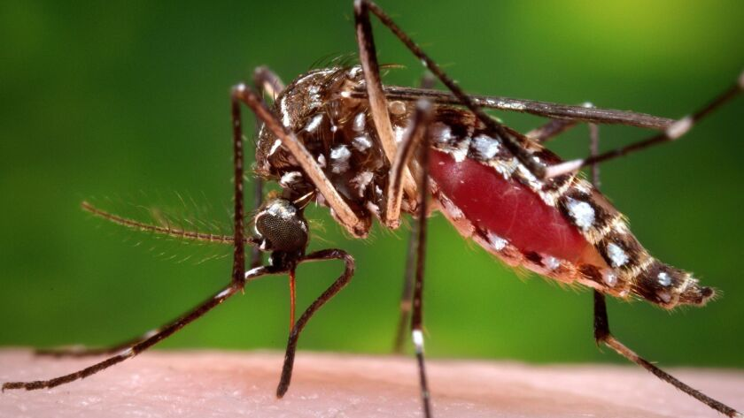 The culprit: The Aedes aegypti mosquito is the primary vector of the Zika virus.