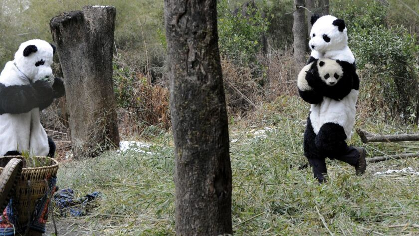 Researchers dressed in panda costumes reintroduce cub to the wild