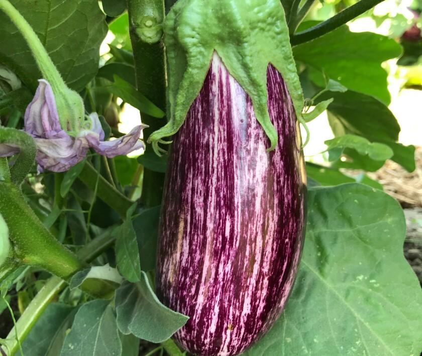 TS Eggplant-Annina.jpg