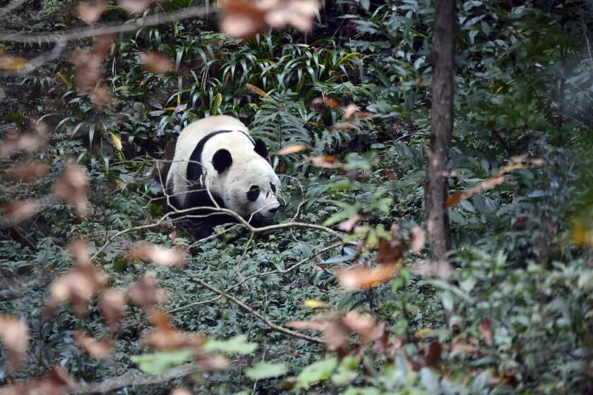 EEUU-CHINA-PANDA