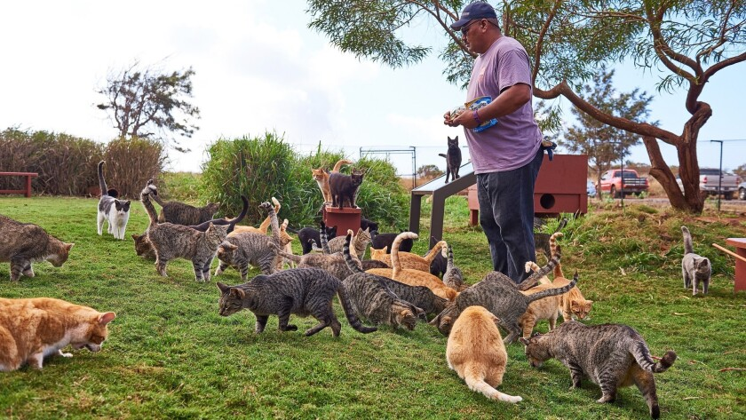 "Mike Hanog, manager of the Lanai Cat Sanctuary, is tasked with caring for 501 wild or unwanted cats that live in what has been described as the ""Fur Seasons."""