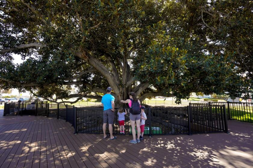 Moreton Bay fig tree platform