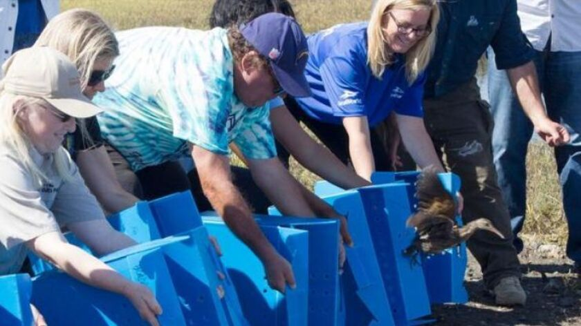 """Members of """"Team Clapper Rail"""" released young Ridgway's rails into the National Wildlife Refuge in south San Diego Bay on Tuesday.   """