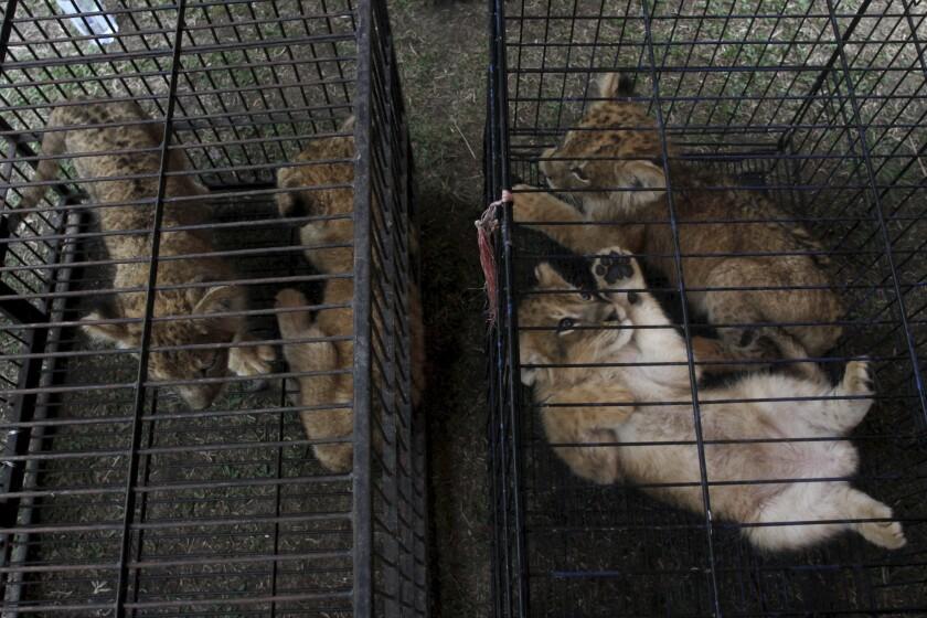 Indonesia Animal Smugglers