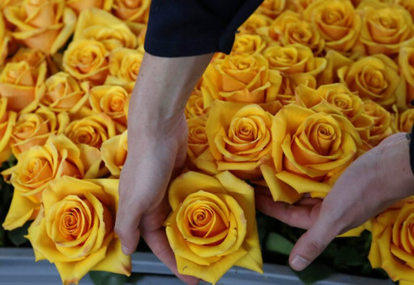 San Valentín es una de las celebraciones más importantes para la comercialización de flores. Según las cifras de ProColombia, entre finales de enero y febrero se duplica la producción de flores en el país y se vende entre 15% y 20% de la producción total anual estimada.