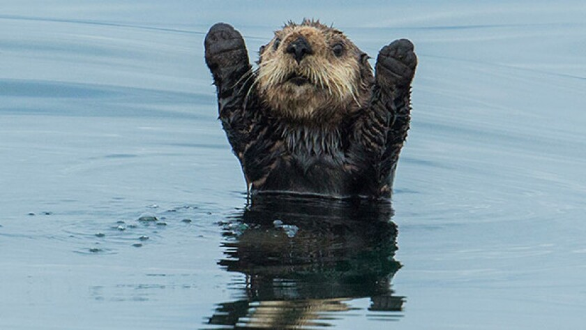 "Sea Otter  in ""Big Blue Live"" on PBS."