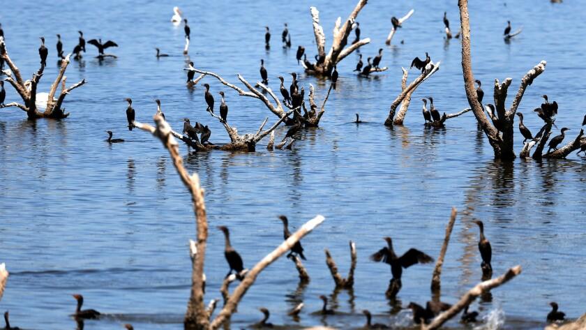 Cormorants at the Salton Sea on Aug. 8.