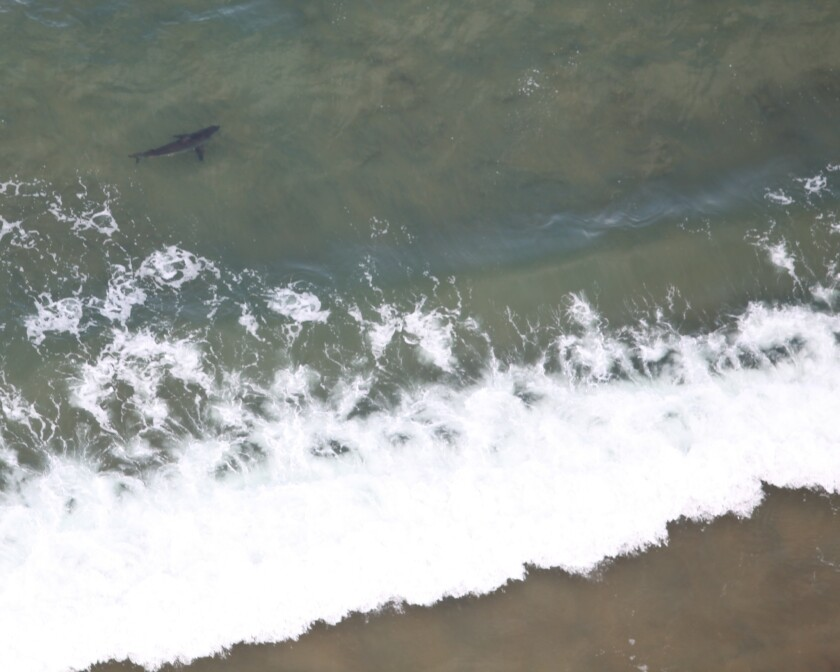 Shark sighted off Huntington Beach in May of 2015