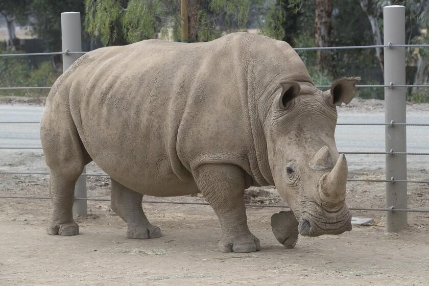 Amani, a female southern white rhino at San Diego Zoo Safari Park.