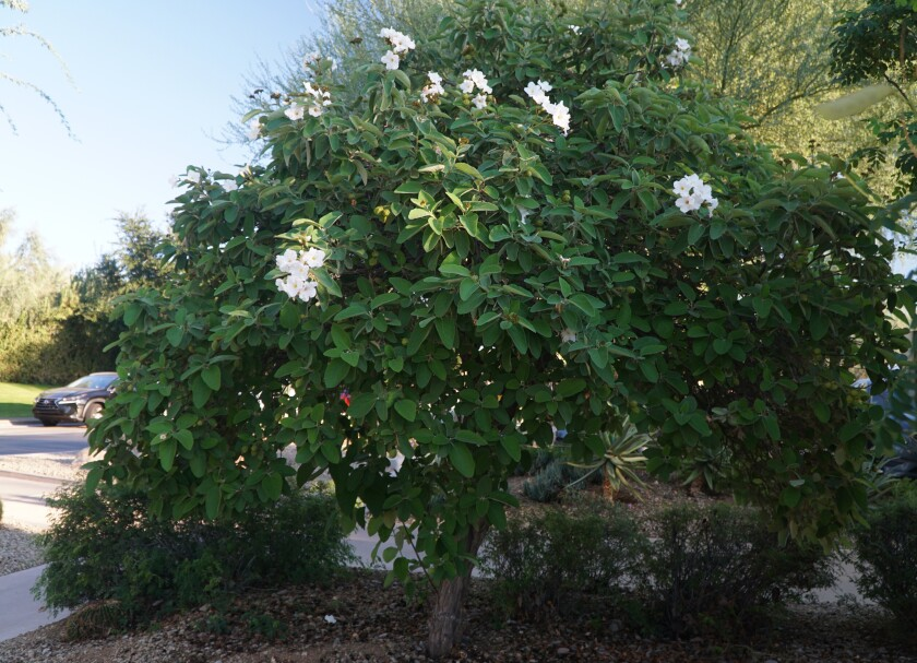 Cordia boissieri, known as Texas olive.