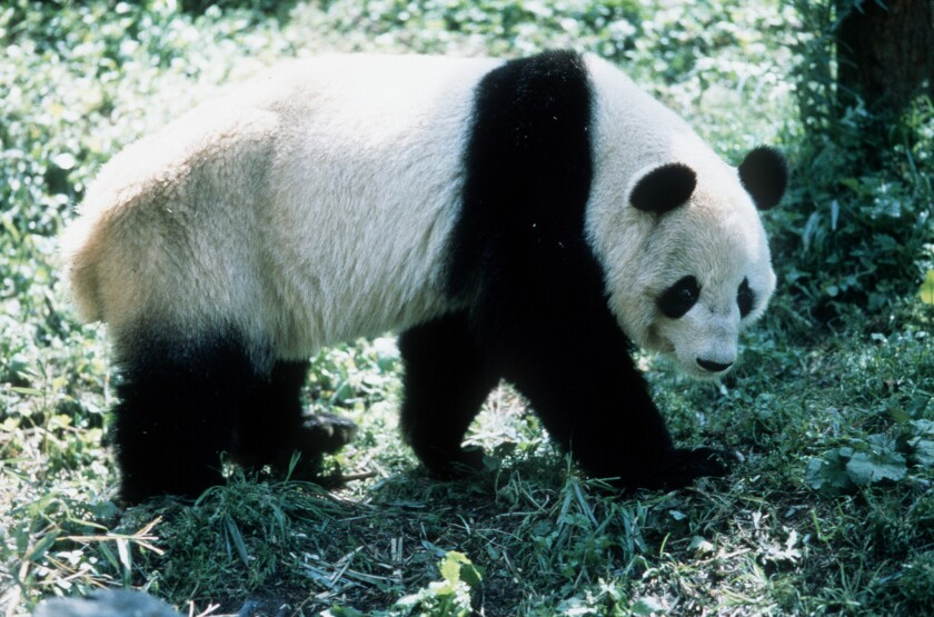 """A giant panda from """"China: The Panda Adventure,"""" a 2001 IMAX Corporation production movie."""
