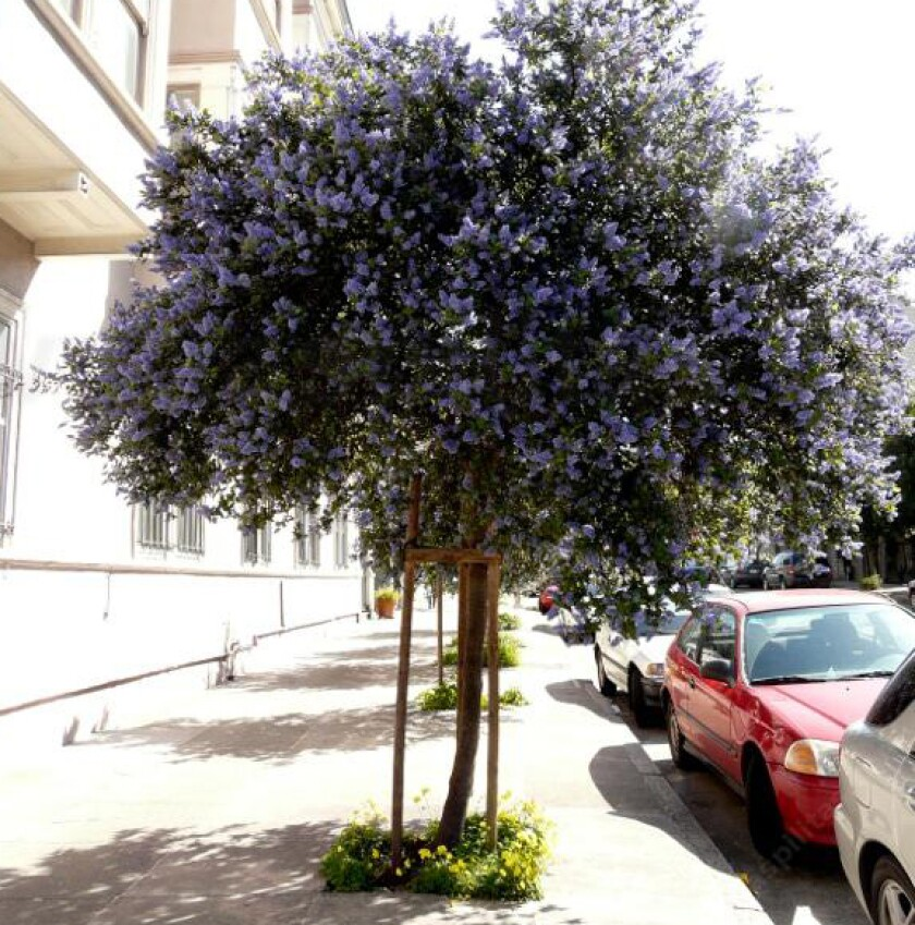 Ceanothus Ray Hartman trained as a small street tree in San Francisco.