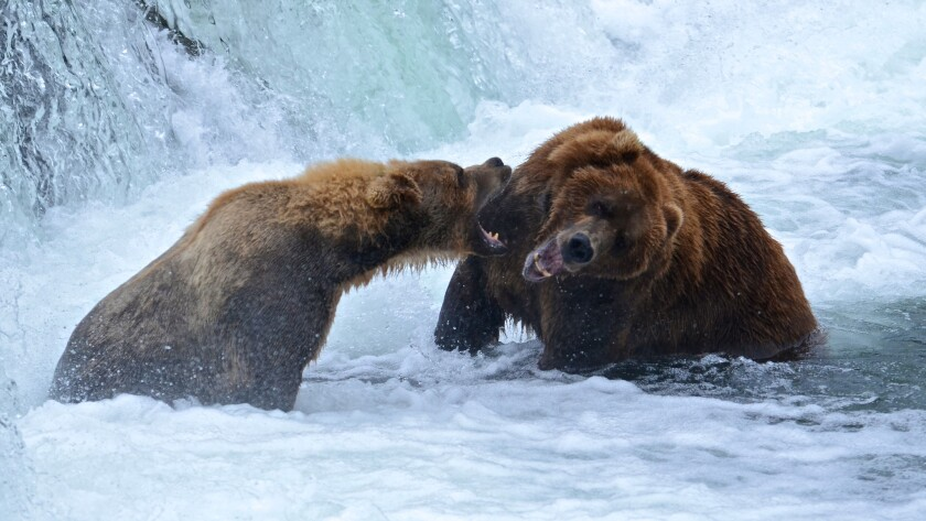 When July comes to Katmai National Park in Alaska, bears take to the Brooks River, where they grab salmon from the falls and occasionally spar with each other.