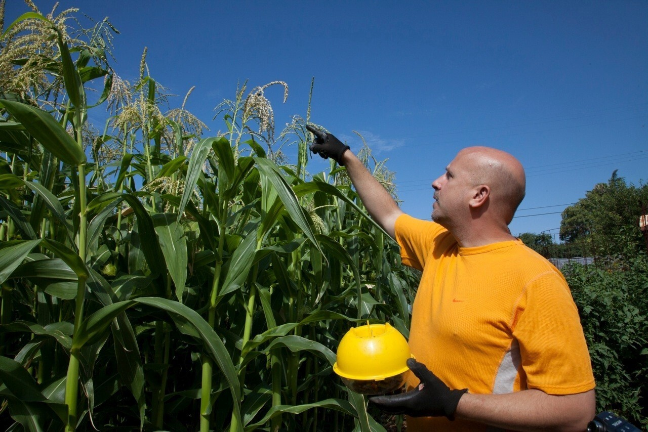 Gary Jackemuk points to the tops of his Floriani corn stalks. The heirloom corn has flavorful red kernels that are coveted for use in polenta, pancakes, cornbread, tortillas and more.