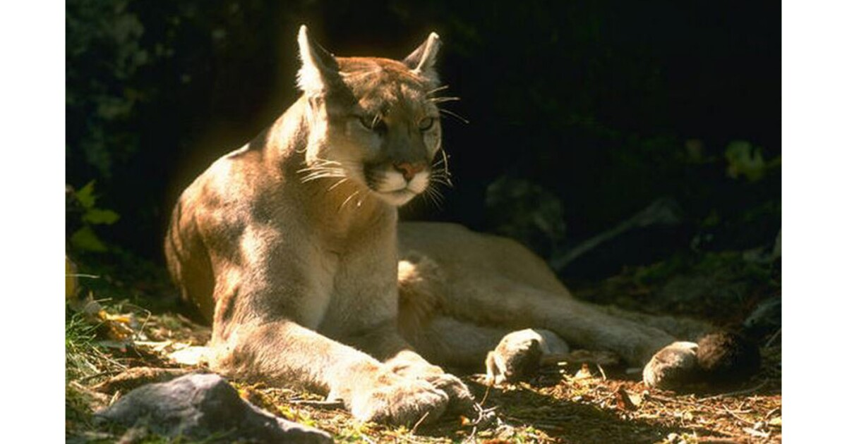 Mountain lion attacks and injures child in Orange County wilderness park