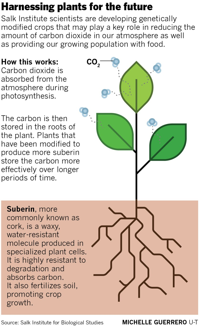sd-me-g-salk-suberin-plants.jpg