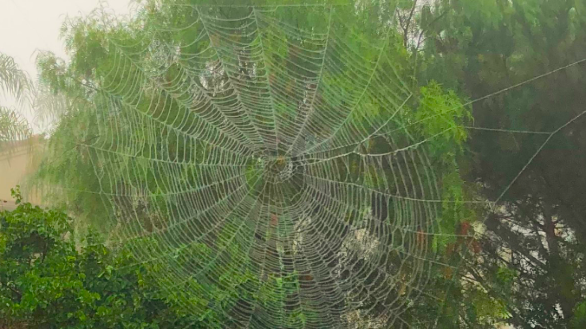 You're not dreaming  Huge spider webs really are popping up