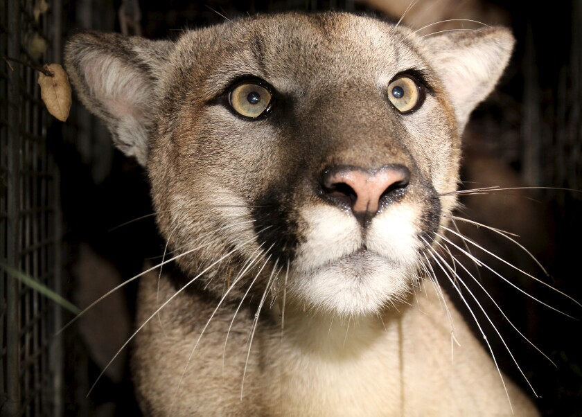 P-81, a subadult male mountain lion, has reproductive and tail defects.
