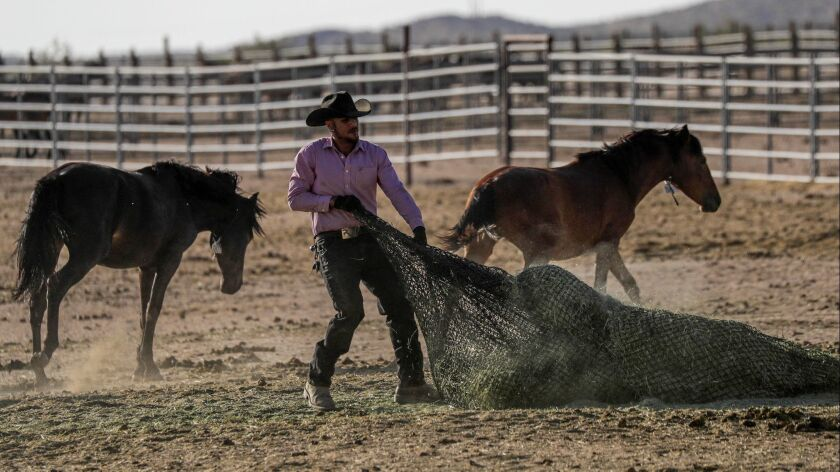Horses maneuver around a worker at Ridgecrest Wild Horse and Burro Corrals on Monday.