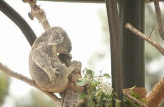 Summer Bucket List: Koalas
