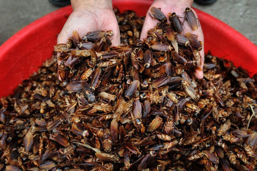 Dried cockroaches are ready to be sold to pharmaceutical companies from a farm in Jinan, China. One farmer says the insects are easy to raise and profitable.