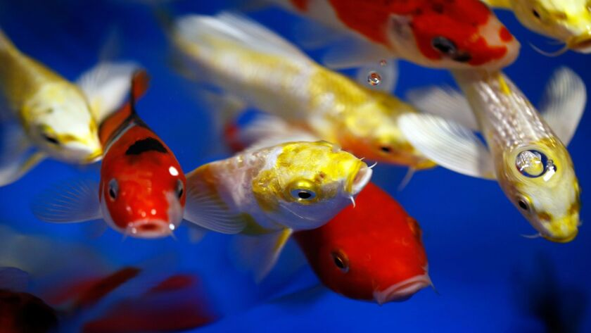 Small koi available for sale by Encinitas-based Underwater Environments fill a tank Sunday at Del Ma
