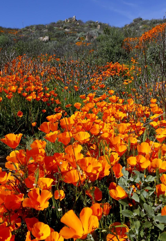 Bright orange California poppies on a hillside