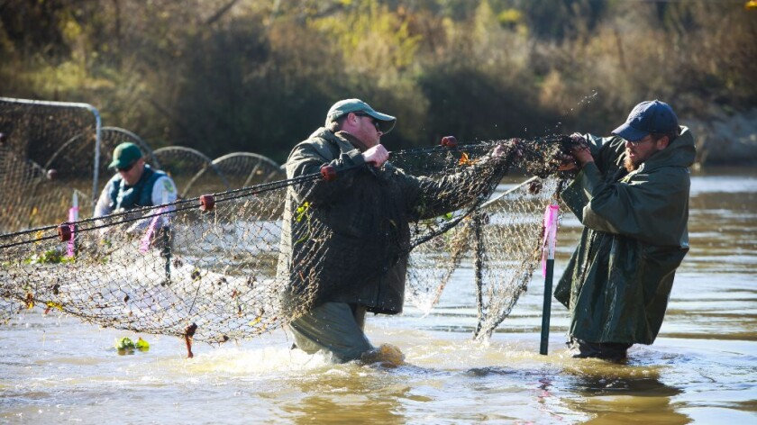 U.S. Bureau of Reclamation fisheries staff arrange a net used to trap chinook salmon that migrated up the San Joaquin River.