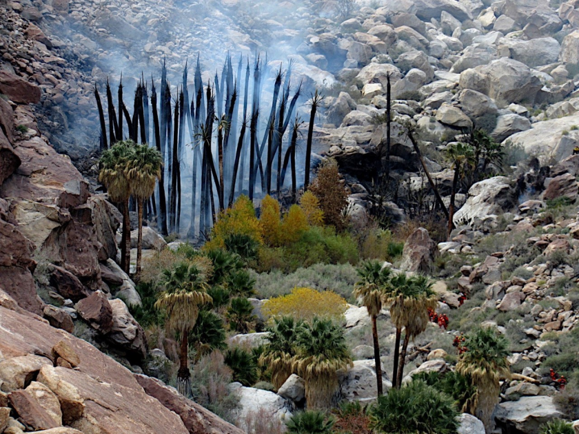 Borrego Palm Canyon fire aftermath