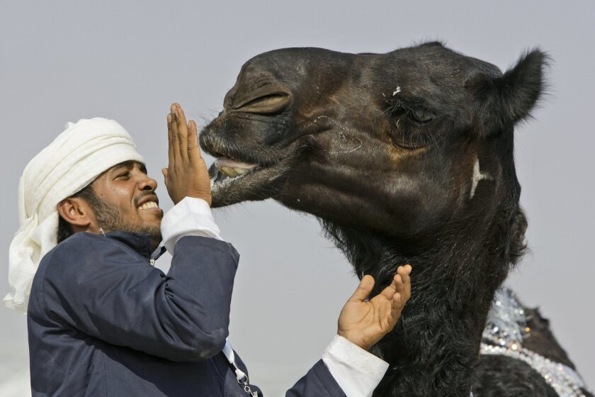 FILE - In this Dec. 25, 2010 file photo, a festival official touches the lip of a young expensive Majahim, dark-skinned originally from Najd, Saudi Arabia, camel during the final day of Mazayin Dhafra Camel Festival in outskirt of Zayed City about 120 kms south west of Abu Dhabi, United Arab Emirat