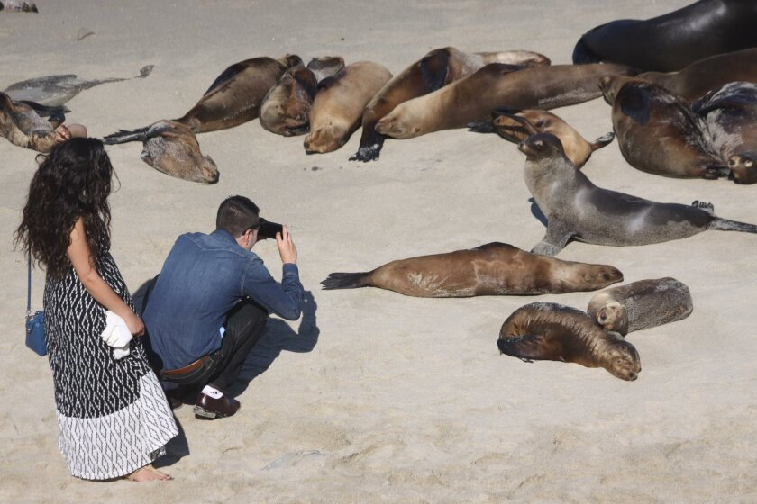 The sea lion population at La Jolla Cove will be discussed at the June 9 Town Council meeting.