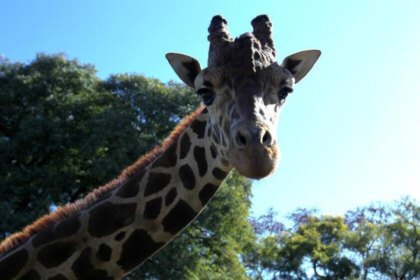 """La población mundial de jirafas cayó alrededor de un 40 % en los últimos 30 años y se catalogó como especie """"vulnerable"""" en la última Lista Roja de la Unión Internacional para la Conservación de la Naturaleza (IUCN, en inglés), divulgada hoy en el balneario mexicano de Cancún. EFE/ARCHIVO"""