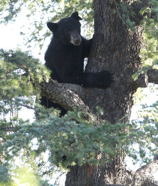 A black bear sits in a tree behind St. Andrew & St. Charles Church in Granada Hills.