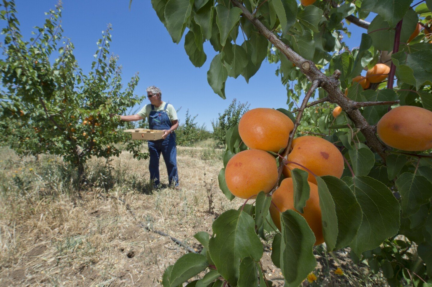 """Farmer Al"" Courchesne harvests Kettleman apricots at his Frog Hollow Farm in Brentwood, in Contra Costa County."