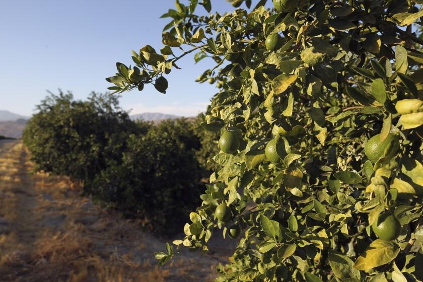 A grove of citrus trees on Thursday, July 11, 2019 in Borrego Springs, California.