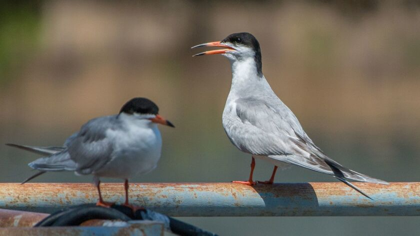 The Forster's tern is a common sight at inland lakes.
