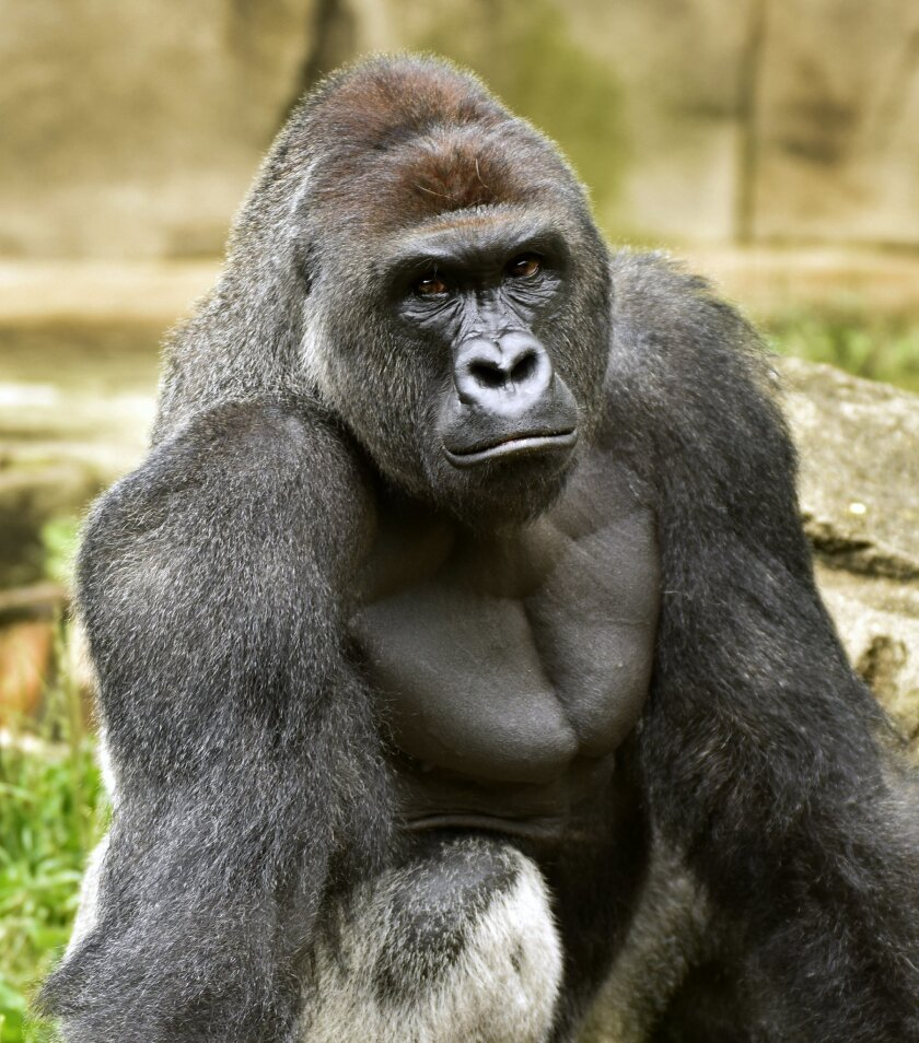 CORRECTS AGE FOR CHILD FROM 4 TO 3- A June 20, 2015 photo provided by the Cincinnati Zoo and Botanical Garden shows Harambe, a western lowland gorilla, who was fatally shot Saturday, May 28, 2016, to protect a 3-year-old boy who had entered its exhibit. (Jeff McCurry/Cincinnati Zoo and Botanical Ga