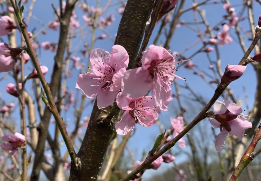 This undated photo shows peach trees blooming in New Paltz, N.Y. Peach blossoms are a welcome sight in early spring, so, for fruit, it's best to delay that show as long as possible by paying attention to microclimate. (Lee Reich via AP)