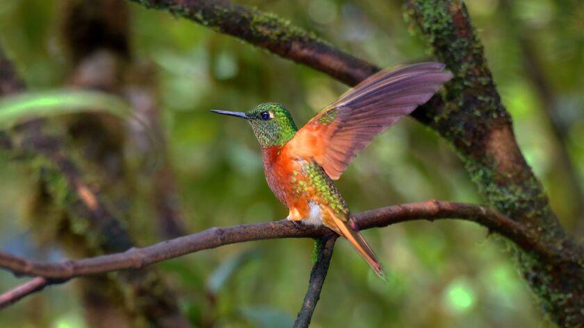 Chestnut-breasted Coronet hummingbirds sparkled everywhere around the Tapichalaca feeders. Doug Hans