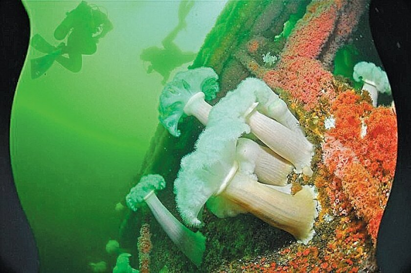 Foot-tall, flowerlike white giant plumose anemones bloom on the hull of the Canadian warship Yukon.