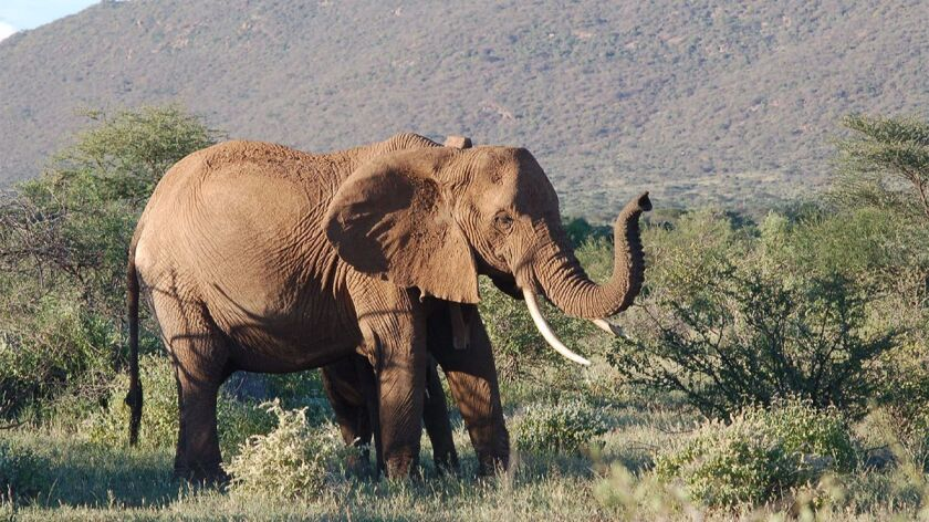 Elephants like this one from Samburu National Reserve in Kenya are in decline as poachers continue to hunt them, a new study of seized ivory finds.