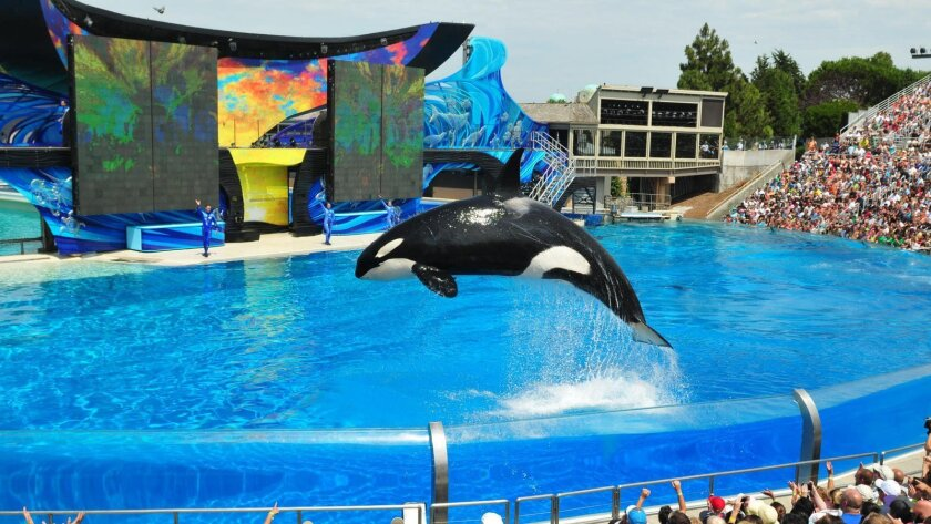 An orca performs in a show at SeaWorld San Diego. (SeaWorld Entertainment)