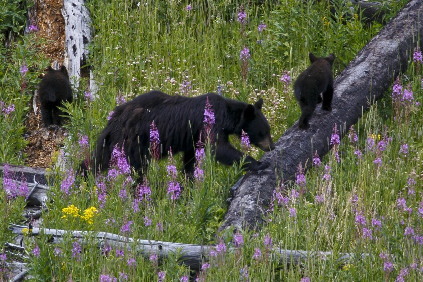 A mother bear and her cubs wander in a meadow near the Petrified Tree in northern Yellowstone National Park.