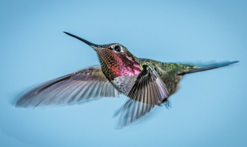 """The hummingbird has been called """"flying jewelry"""" because of the brilliant colors it displays in the right lighting."""
