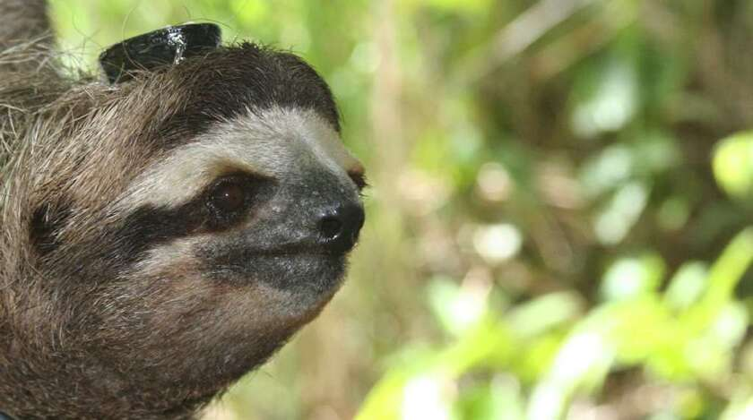 This three-toed sloth, which is not a pygmy sloth, in Panama is wearing an electronic monitor on its head so scientists can track its sleep habits.