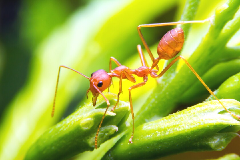 The bite from a fire ant, such as this one, is being blamed for the death of Franklinton, N.C., resident Floyd Edwards.