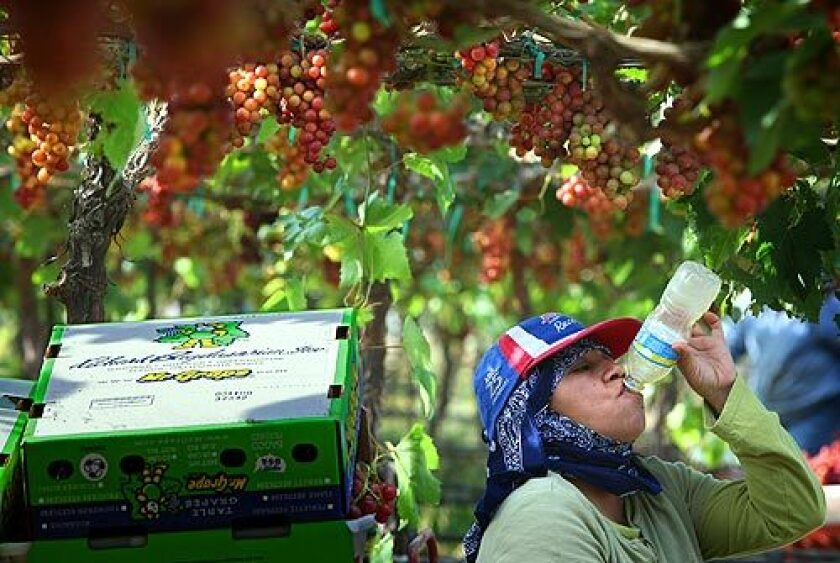 Dressed for protection against the sun and insects, an unidentified grape picker chugs a bottle of water during a midmorning break in a Mecca, Calif., vineyard. She's picking red table grapes that will be shipped to supermarkets across the nation. > > > Video