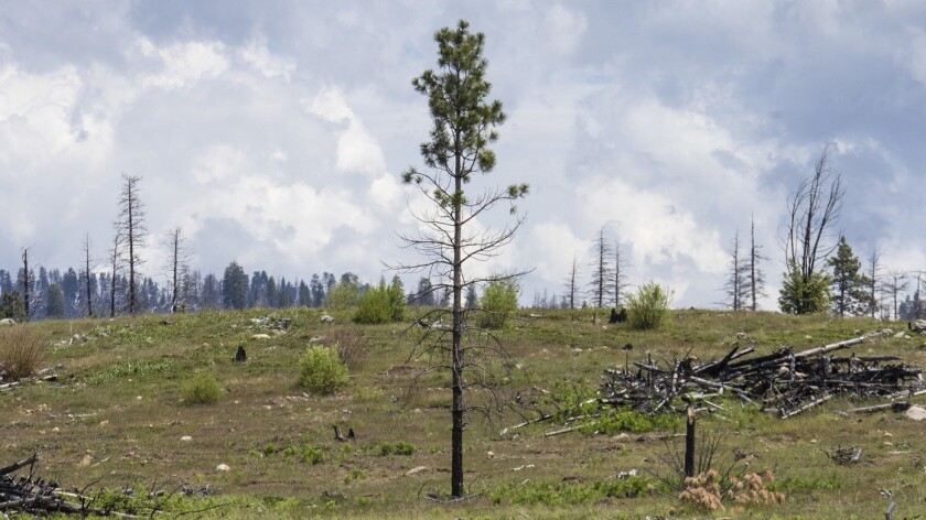 STANISLAUS NATIONAL FOREST, CALIF. -- WEDNESDAY, MAY 30, 2018: A logged and replanted area of a Rim